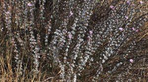 Çoban Yastığı-Acantholimon acerosum var acerosum