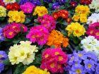 Çuha Çiçeği-Primula x polyantha